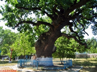 The oak-tree of Stephen the great